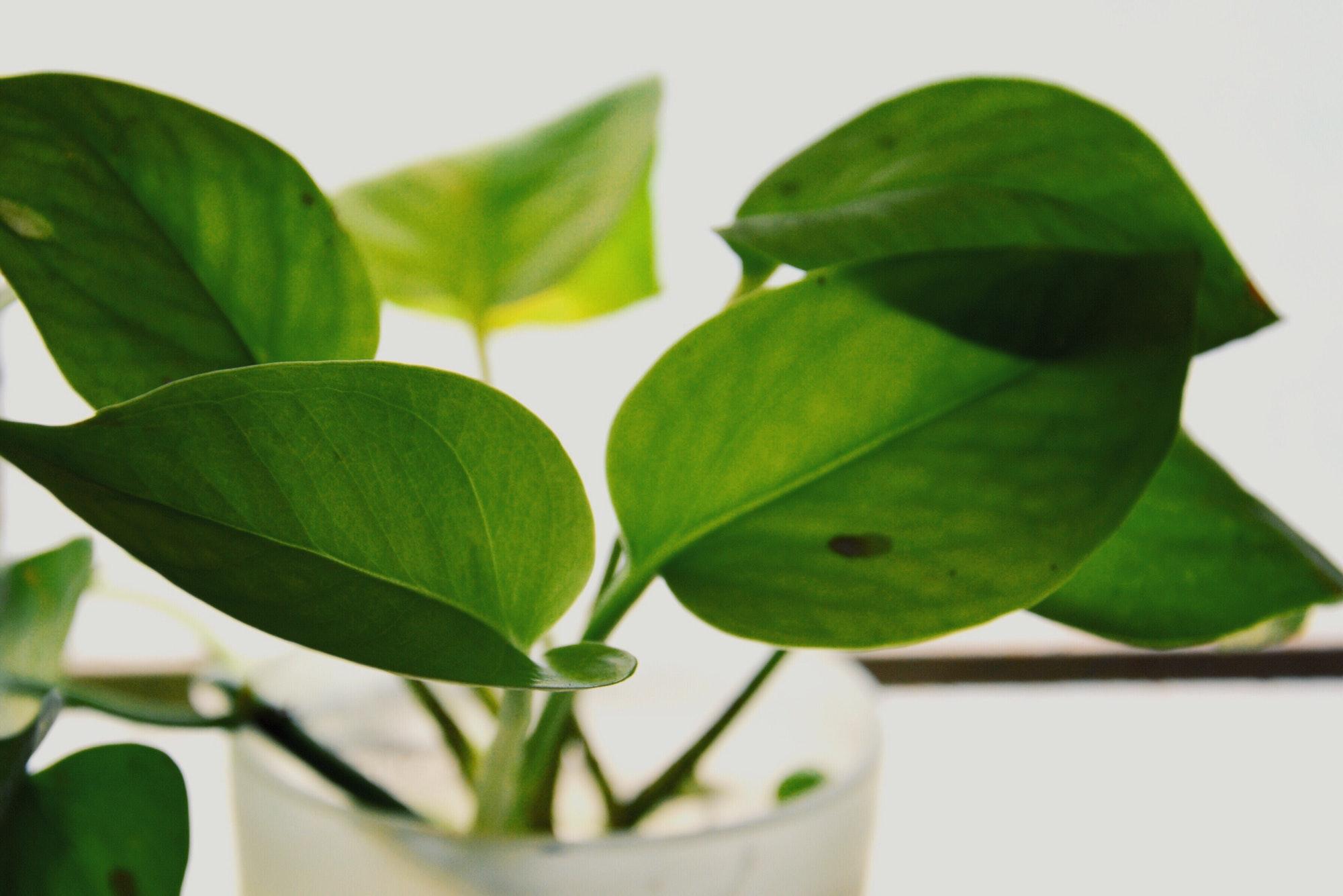 The money plant