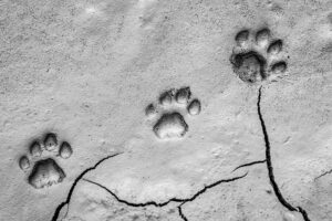 Three footprints of lion, Panthera leo, paw tracks in soft mud.