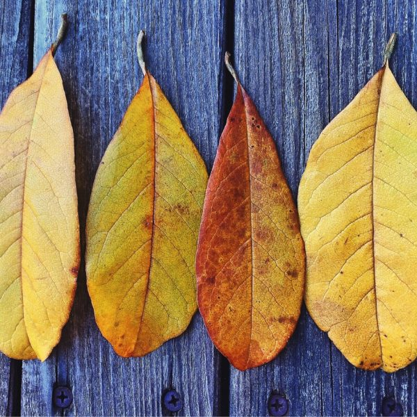 Canva - Four Brown Leaves